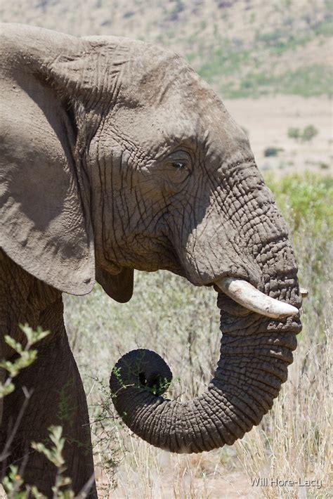 elephant profile   hore lacy redbubble