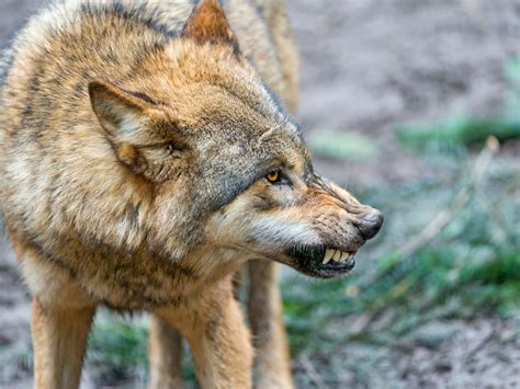 what is a wolf fends a wolf attack