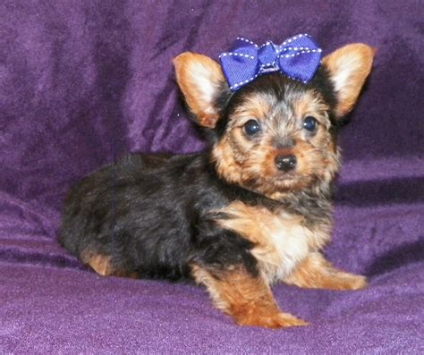 yorkie poo adults pictures teacup yorkie poo pictures breeds picture