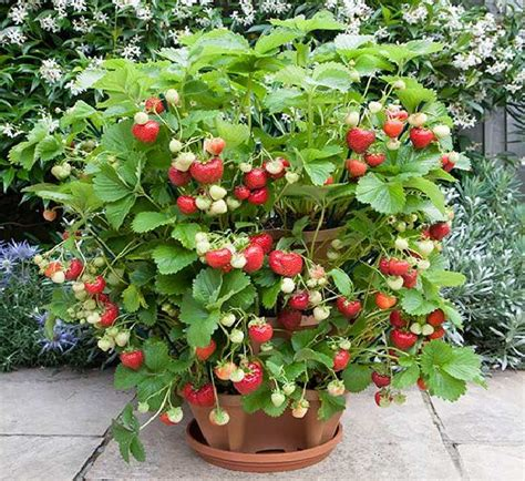 How To Plant Strawberries In A Strawberry Planter by 8 Of The Best Berries To Grow In Containers Balcony