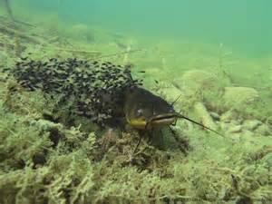 ao 251 t le poisson chat la p 234 che et les poissons
