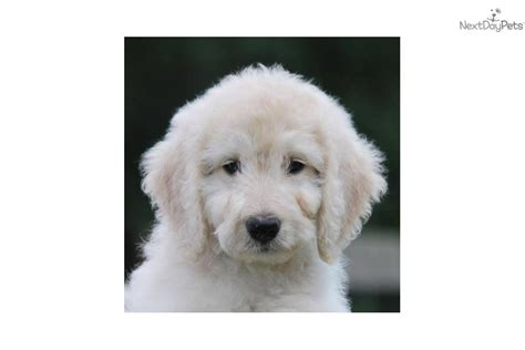 Non Shedding Labradoodle by Meet Kate A Labradoodle Puppy For Sale For
