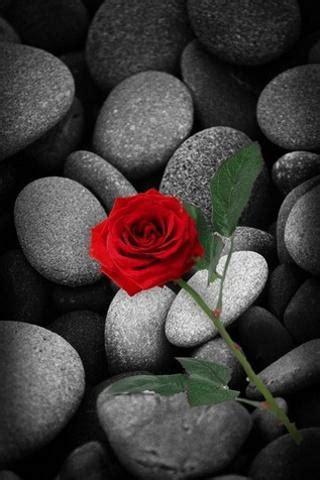 rose  wallpaper apk   gallery