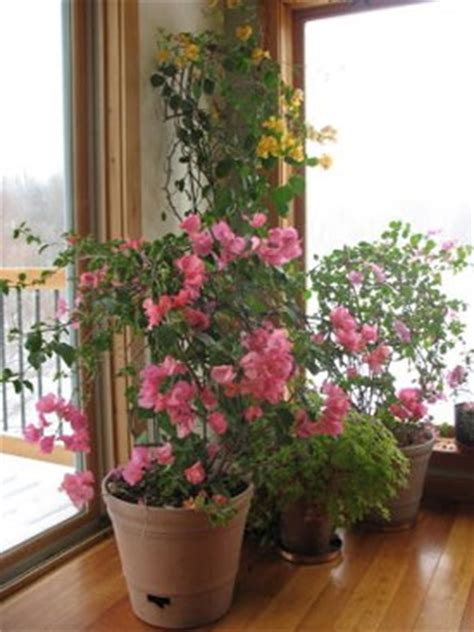 growing bougainvillea indoors gardeners journal