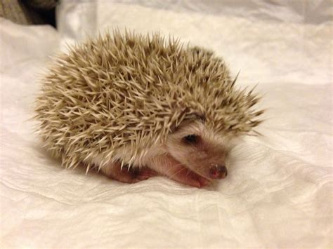 african pygmy hedgehog babies livingston west lothian pets4homes