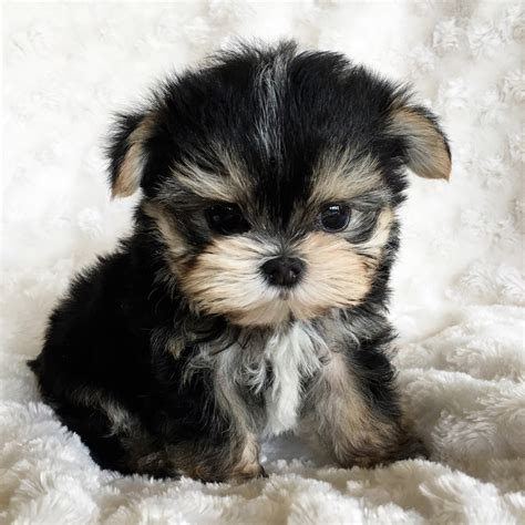 teacup morkie puppies for sale teacup puppies for sale teacup puppies tiny and autos post