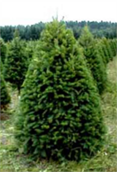 houston christmas tree farms huffman texas huffman tx