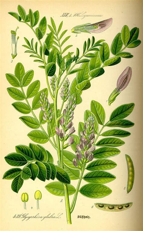 fiori di liquirizia piante aromatiche liquirizia glycyrrhiza glabra l