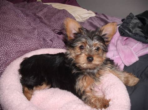 puppies for sale in tulsa dr yorkies ridenhour yorkie puppies akc yorkies yorkie puppies for sale