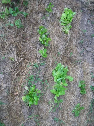 lade stagne un jardin potager en languedoc carottes oignons salades