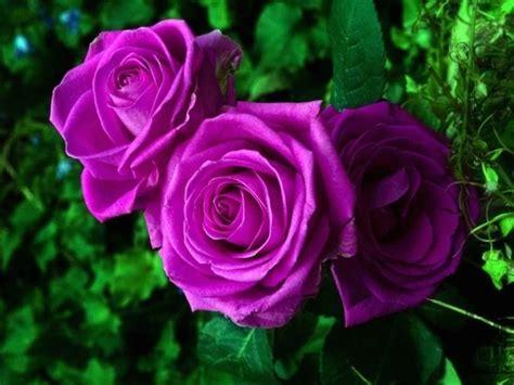 imagenes raras de rosas 100 sementes de rosa roxa rosas raras com garantia 19934