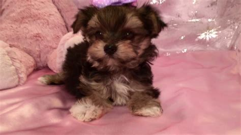 puppies for sale in nc teacup morkie puppies for sale in nc