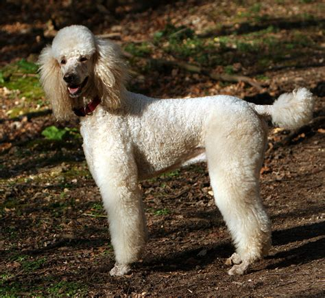 pictures of different types of poodles type of poodle cuts hairstyle gallery
