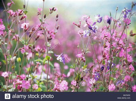 Pink Small Flowers lychnis flos jovis cion abundant small pink flowers