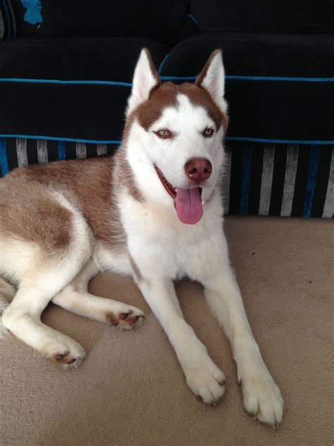 brown and white husky puppy brown and white husky for sale washington tyne and wear pets4homes