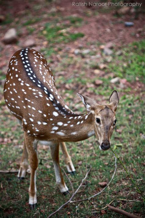 picture of black buck black buck antelope deer pictures