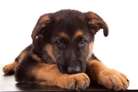 how to care for a german shepherd puppy german shepherd puppy care mysweetpuppy net