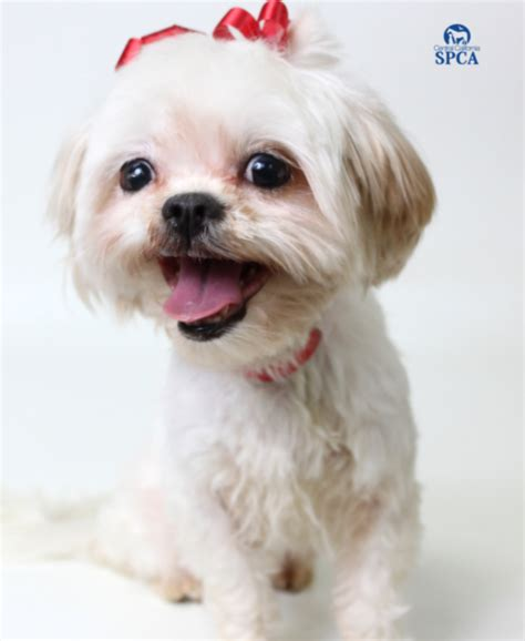 spca shih tzu beautiful bonnie is a 4 year white and shih tzu blend central