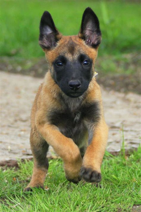 german malinois puppy puppy of belgian malinois wallpaper breeds picture