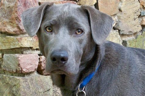 blue lacy blue lacy rescue rescue organizations