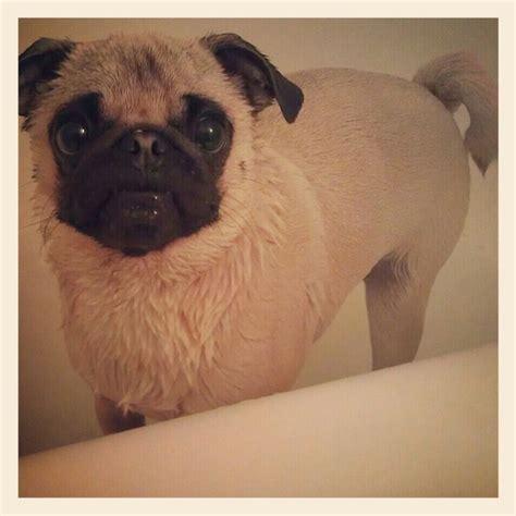 pug bath 1000 images about pugs on pug brindle pug and baby pugs