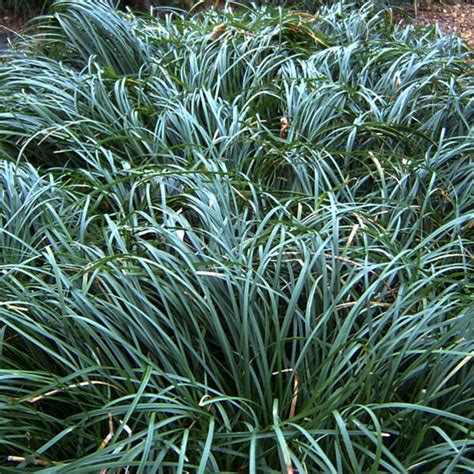 dwarf mondo grass size 1 gallon live potted plants ophiopogon japonicus ebay