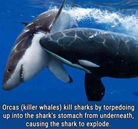 shark meme best 25 shark meme ideas on sharks