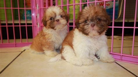 imperial shih tzu puppies for sale in ga cuddly gold shih tzu puppies for sale in ga at puppies for sale local breeders