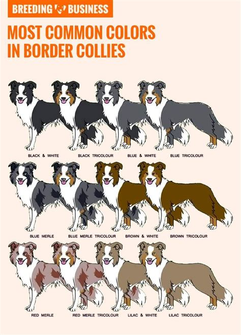 border collie colors how to breed border collies history best practices health