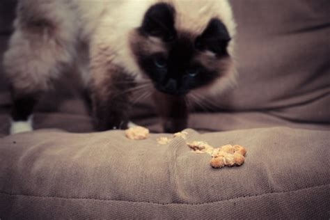 vomit on couch cats grass and vomit animal medical new city