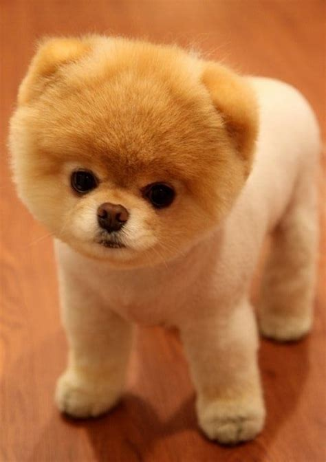 clipped pomeranian pomeranian puppies a shameless quot aaaaahhhh quot post lazer