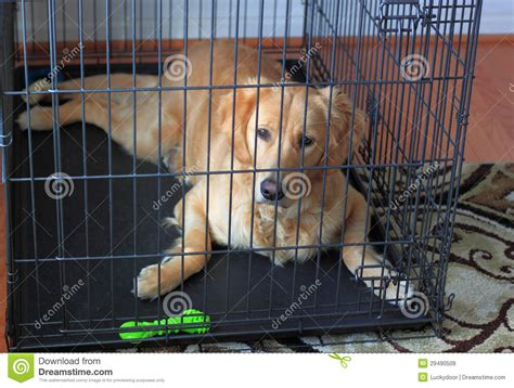 crate golden retriever puppy golden retriever in crate royalty free stock images image 29490509