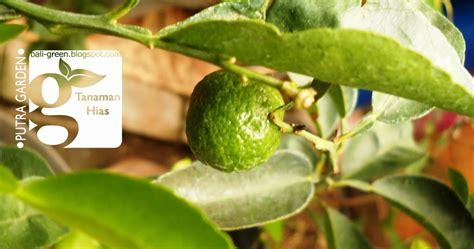 putra garden bibit tanaman jeruk limo termurah