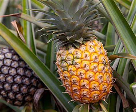 Pineapple Floor Ls by Compa 241 237 A Exportadora Sur