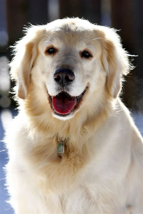 are golden retrievers family dogs golden retriever great family golden retriever