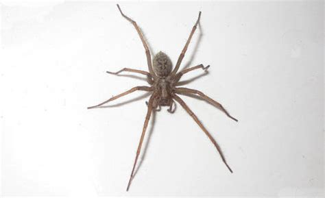 domestic house spider what attracts spiders to your house panther pest control