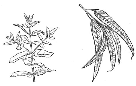 Eucalyptus Tree Coloring Page | eucalyptus coloring download eucalyptus coloring