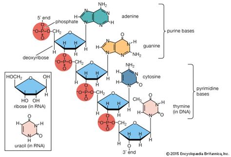 nucleic acid diagram nucleic acid chemical compound britannica