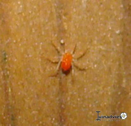 kleine rode spinnetjes in huis welk rood spinnetje is dit