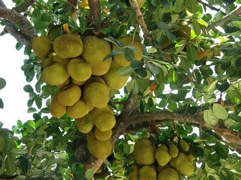 Bibit Buah Kiwi Golden jackfruits kathal growing up in a jackfruit tree trees