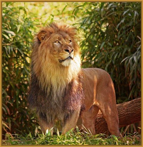 imagenes de leones feroces imagenes de leones en la selva misionera imagenes de leones