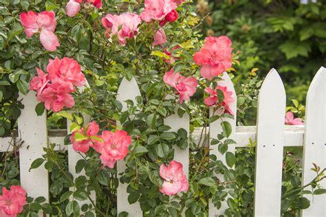 organic rose gardening  care