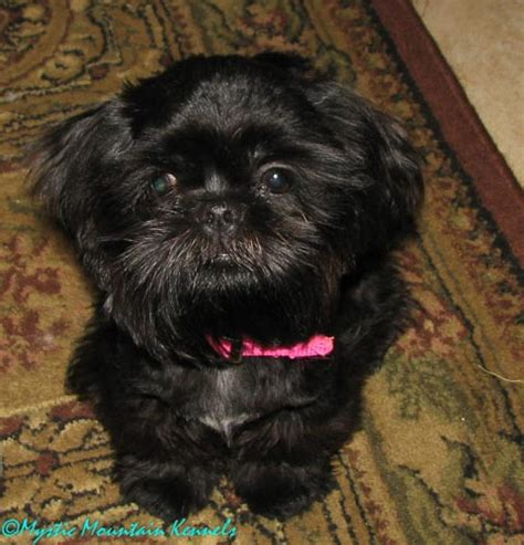 solid black shih tzu puppies for sale black shih tzu assistedlivingcares