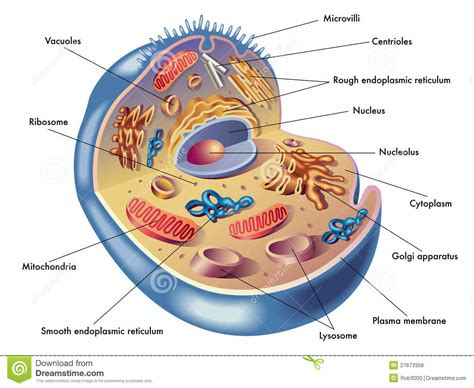labeled cell diagram human cells structure with label diagram bone cell labeled