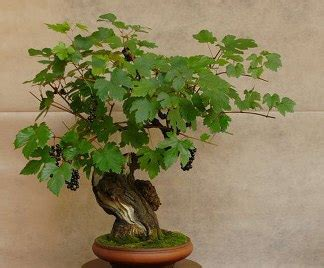 pianta di vite in vaso bonsai vite