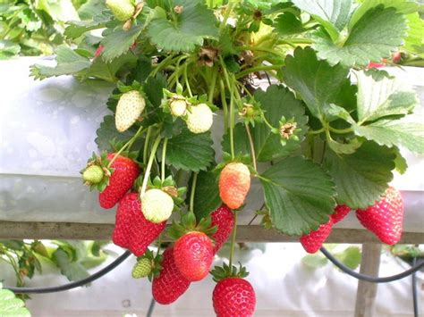 strawberry container gardening strawberry container gardening gardening