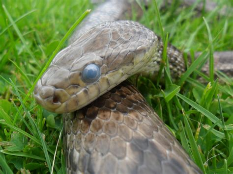 When Do Corn Snakes Shed by Going Though Shed Corn Snake By Stormreptiles On Deviantart