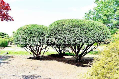 Pflege Bonsai 6380 by Taxus Baccata 187 Luxurytrees 174 Deutschland