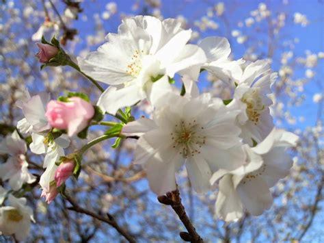jenis tanaman bunga sakura  cantik  dunia info
