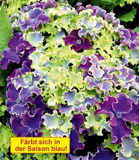 wann pflanzt hortensien freiland hortensie curly 174 sparkle blue baldur garten
